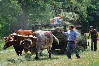 Farming-With-Oxen