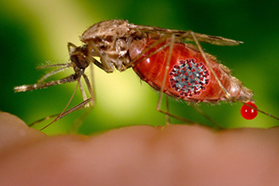 mosquito corona
